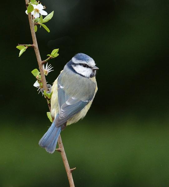 Spring Time Blue Tit by tonyng