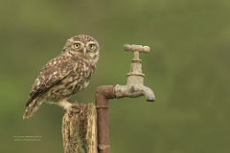 Little Owl on Tap