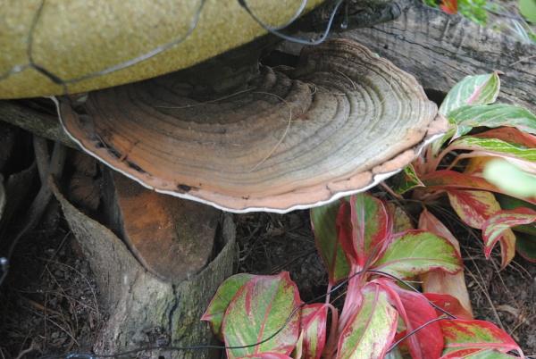 Thai Fungi! by Chinga