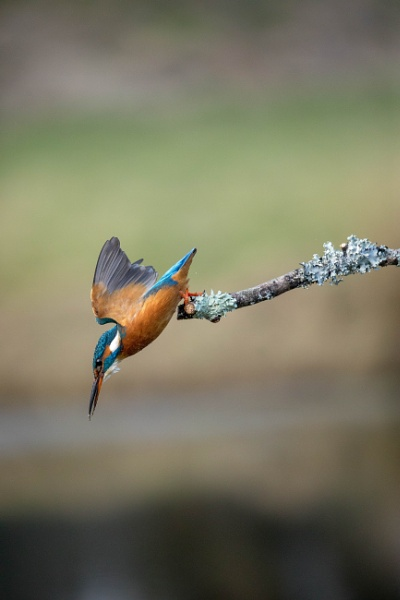 Kingfisher about to dive by Peter_West