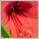 Amaryllis: macro by JawDborn