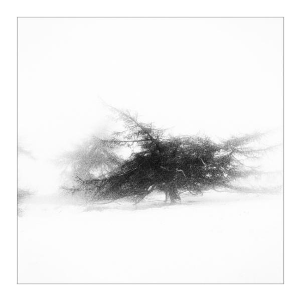 Larch in Winter by gerainte1