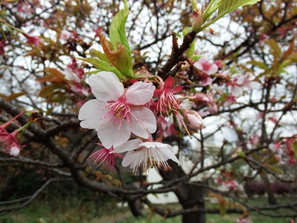 First Blossom ,Tokyo by Nigeltraveller