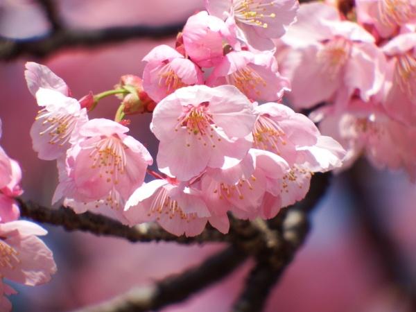 First Blossom Ueno park Tokyo by Nigeltraveller