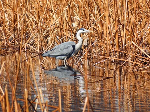 Heron Ueno Lake Tokyo by Nigeltraveller