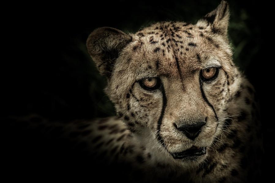 Cheetah - Fine Art !