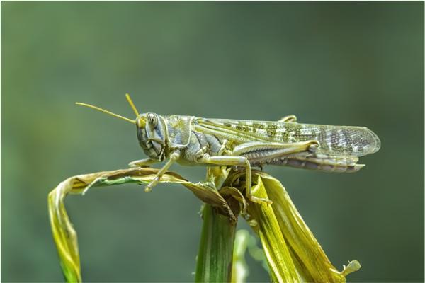 Migratory Locust (Locusta migratoria) by Somerled7