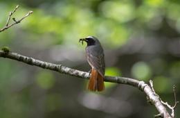 Redstart 'Phoenicurus phoenicurus'
