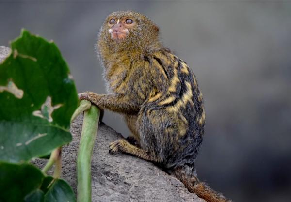 Pygmy marmoset by Glenn1487