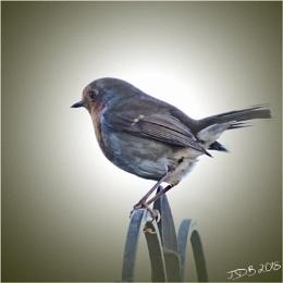 Photo : Robin