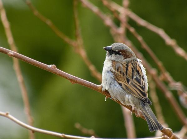 Sparrow by WioletaJ