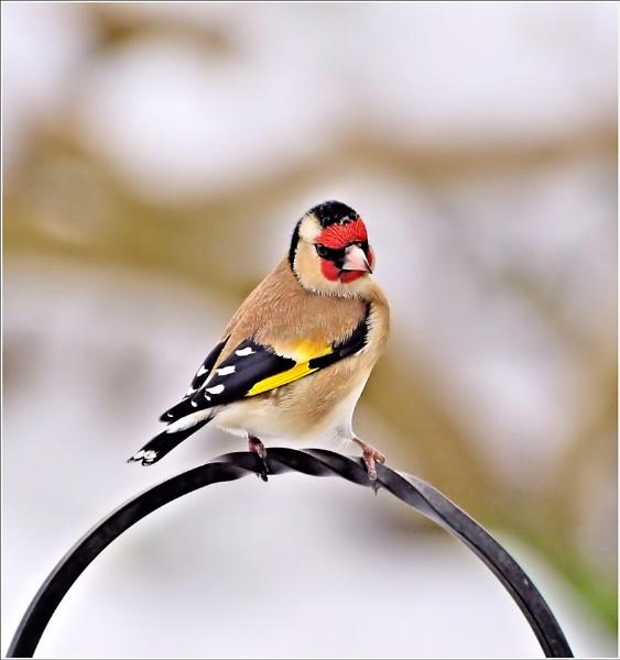 Goldfinch. by bricurtis