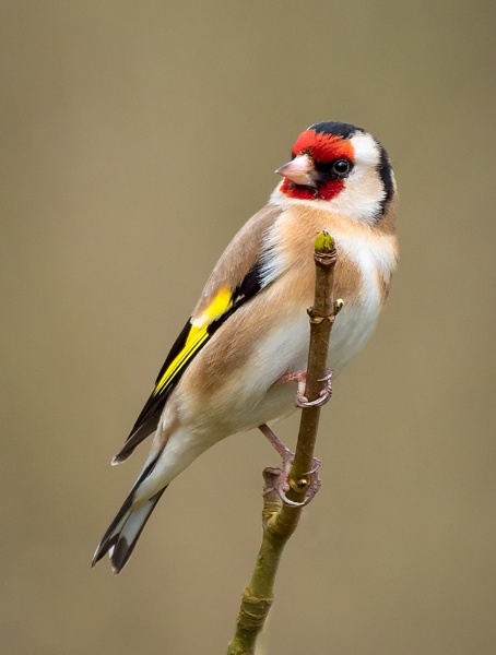 Goldfinch by Paintman