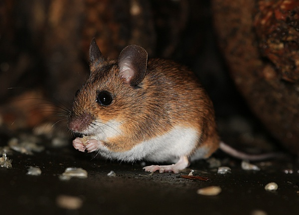 Garden Wood Mouse by RobMacd