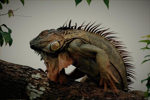 Iguana by agednovice