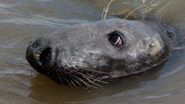 Grey seal by oldgreyheron