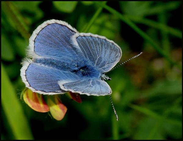 Common Blue Male...