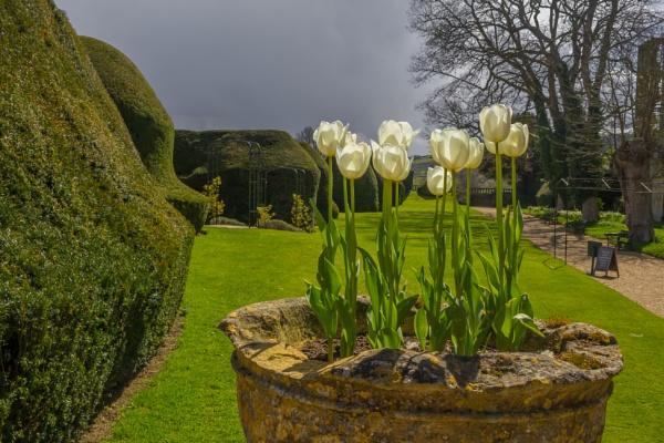 sprin tulips by jimlad