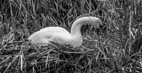 swan on nest by jimlad