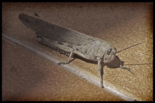 Locust. by mex