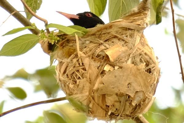 Nesting Oriole by prabhusinha