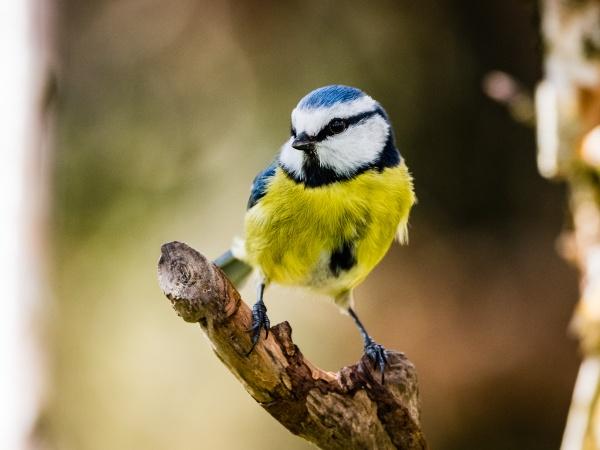 Blue Tit by JFitz