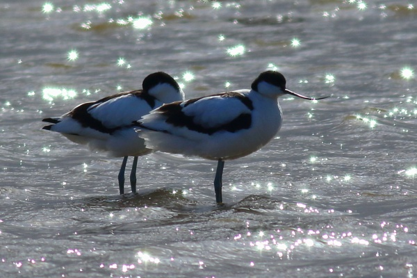 Avocet Couple by TerryMcK