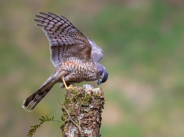 Female Sparrowhawk by hasslebladuk