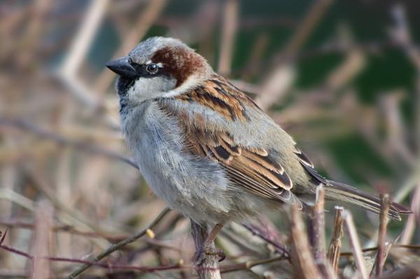 RSPB garden birdwatch No1 by alant2