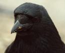 crow by Priestcove
