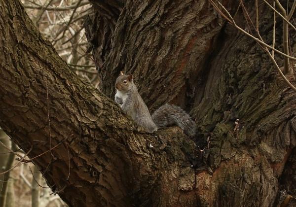 grey squirrel posing by robthecamman