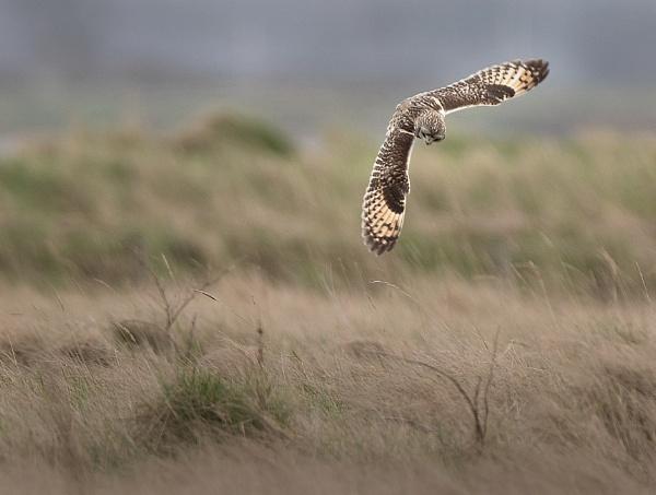 Short Eared Owl. by stu8fish