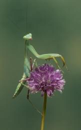 Preying Mantis - Indochina