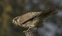 Kestrel.(F) Falco Tinnunculus.