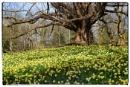 Daffodil Bank by Les_Cornwell