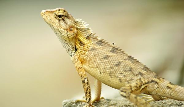 Lizard push-ups by kingmukherjee