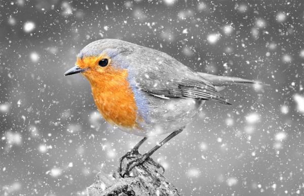 """Winter Robin""."