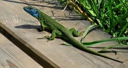 The western green lizard (Lacerta bilineata).