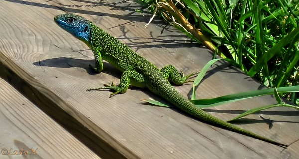 The western green lizard (Lacerta bilineata). by ladynewbury