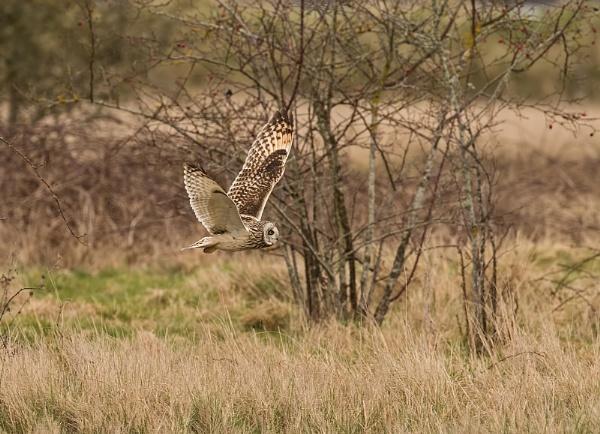 Short eared owl by Juanita