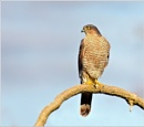 Sparrowhawk. by bricurtis