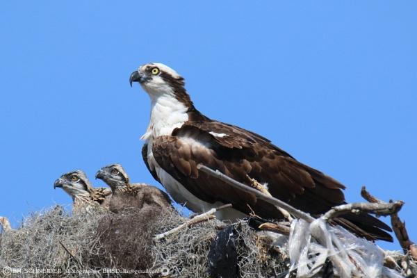 Osprey Family by BHSDallas