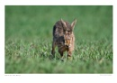 Hare on the Move by running_man