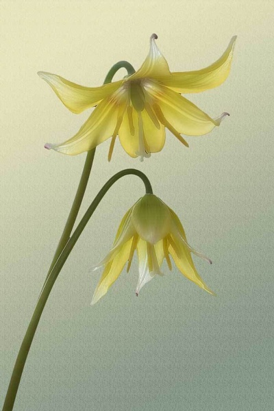 Erythronium by Squirrel
