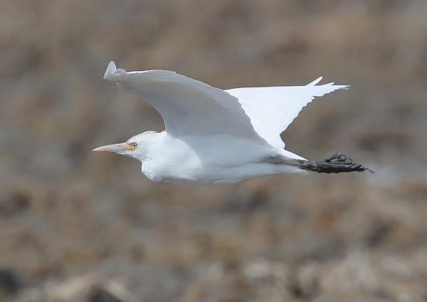 Cattle Egrets by NeilSchofield