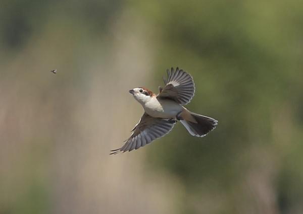 Woodchat Shrike Feeding in Flight by NeilSchofield