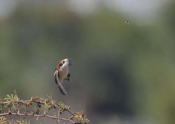 Woodchat Shrike Feeding by NeilSchofield