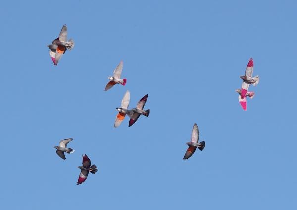 Flowery Pigeons by NeilSchofield