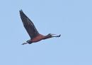 Glossy Ibis in Flight by NeilSchofield
