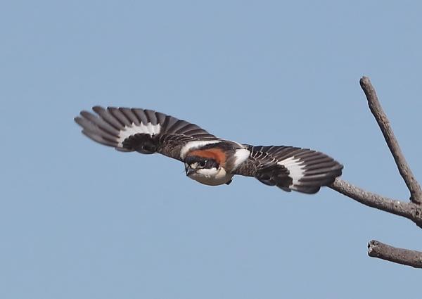 Woodchat Shrike in Flight by NeilSchofield